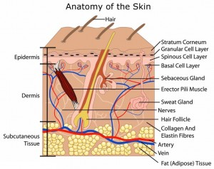 skin-anatomy